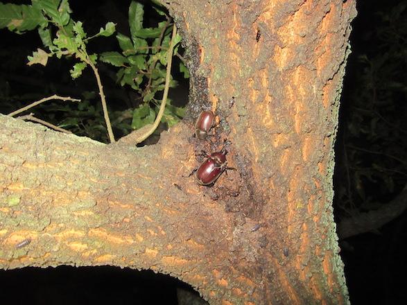 樹上の樹液に厚真ていたカブトムシのペアです。
