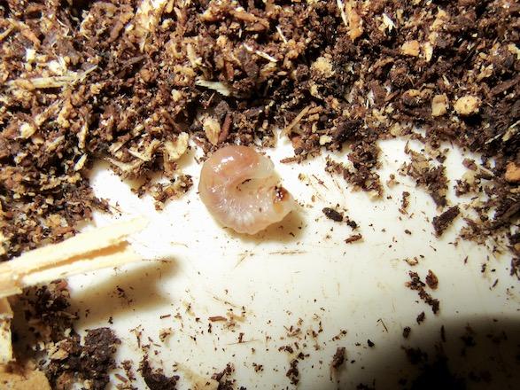 初齢から二齢へと脱皮途中のサキシマヒラタの幼虫です。