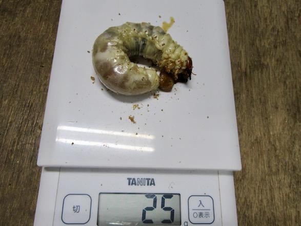 オオクワガタ(佐賀県神埼)の幼虫
