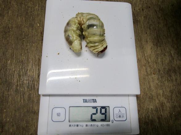 オオクワガタ佐賀県神埼産の幼虫29グラム