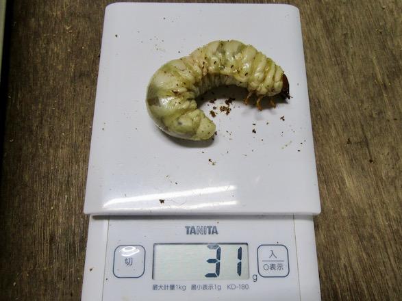 オオクワガタ(福岡県久留米市)の幼虫31グラム