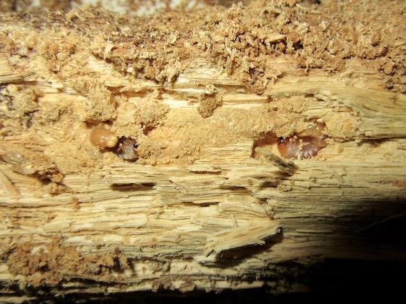 産卵木を粉々にしていたトカラコクワの幼虫