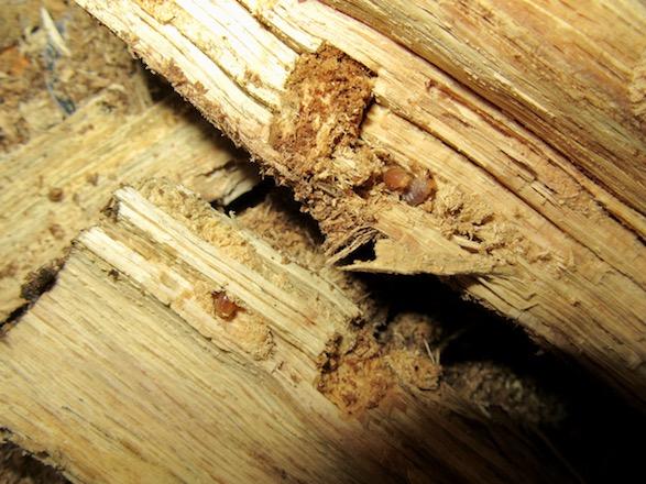 産卵木の表面から出て来たトカラコクワガタの初齢幼虫