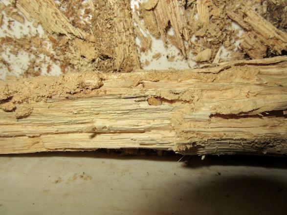 産卵木の芯に潜り込んでいたトカラコクワガタの初齢幼虫