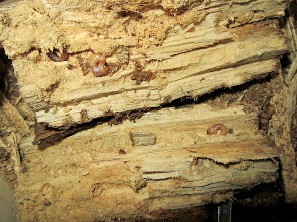 産卵木の大半を食い尽くしている複数のトカラコクワの幼虫