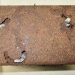 天然スジブトヒラタの産卵セットの割り出し