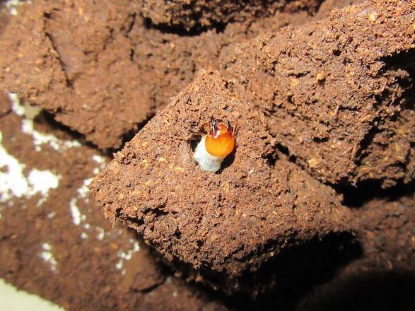 アマミノコギリの大きな頭のオスの二齢幼虫