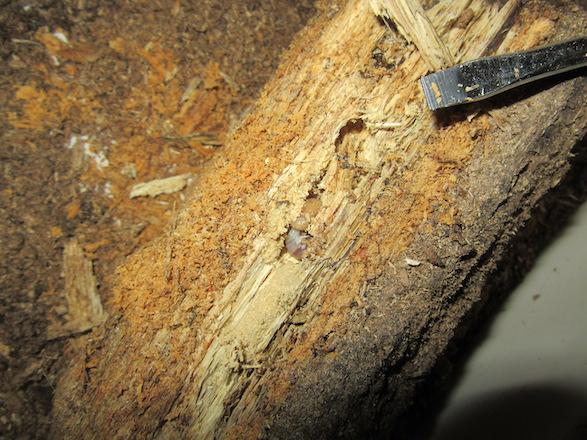 産卵木の表面から出て来た二齢幼虫