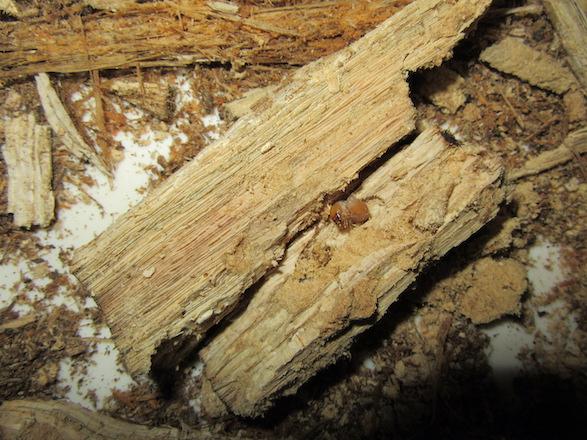 産卵木の中心付近から出て来たオキナワコクワの二齢幼虫
