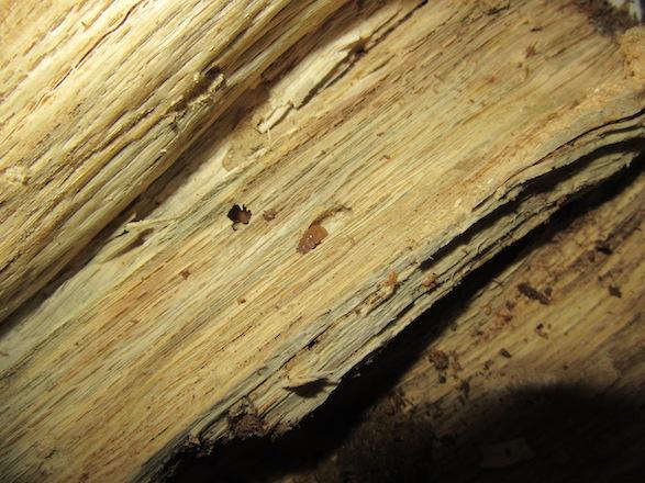 産卵木から出て来たオキナワコクワガタの幼虫です。
