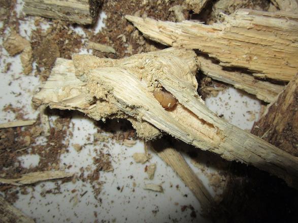 産卵木の節の部分から出て来たオキナワコクワの二齢幼虫です。