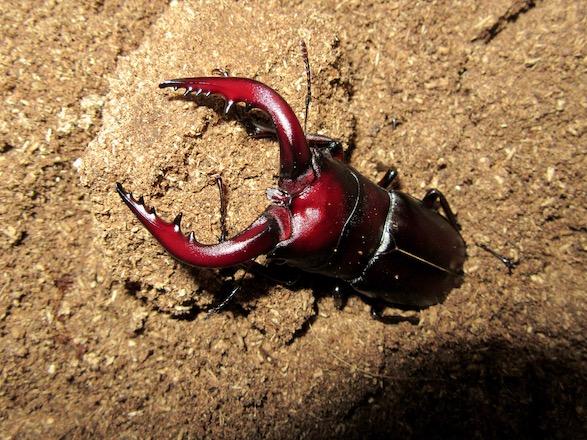 種子島産ノコギリクワガタ67ミリ