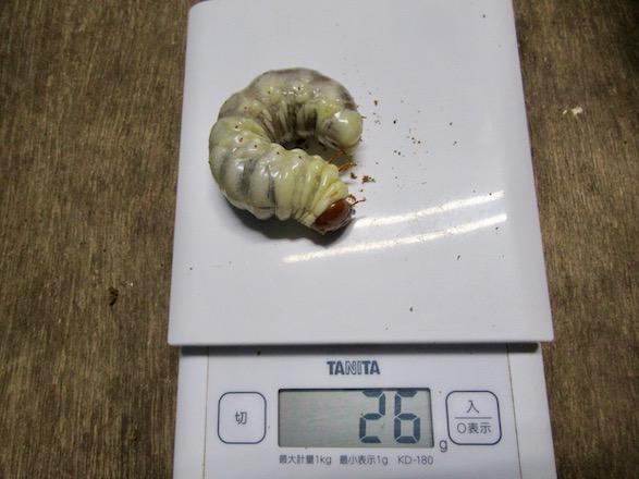 アマミヒラタの終齢幼虫26g
