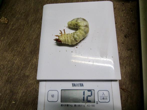 ノコギリクワガタの終齢幼虫