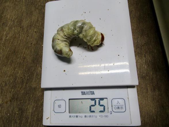サキシマヒラタの終齢幼虫25グラム