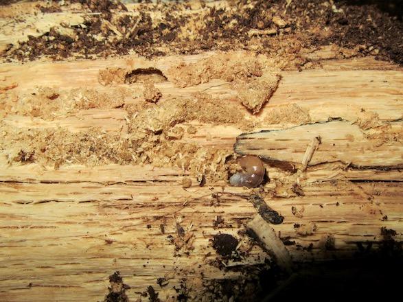 幼虫と食痕