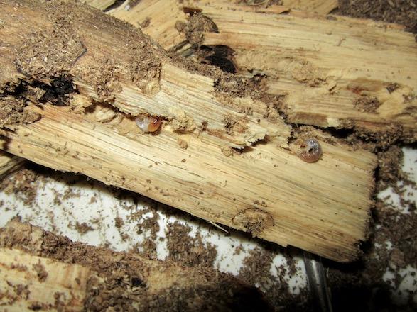 朽ち木の硬い部分にいた2匹の幼虫