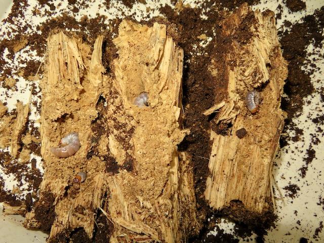 産卵木から出てきた幼虫