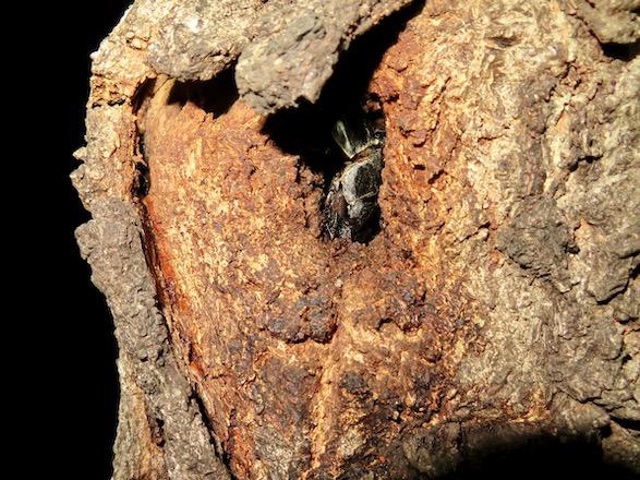 樹洞に隠れる大型のヒラタクワガタのオス