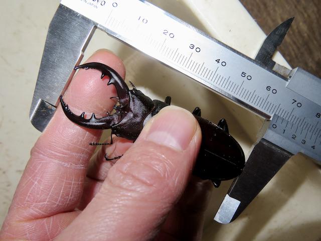 クメジマノコギリ66.5ミリ