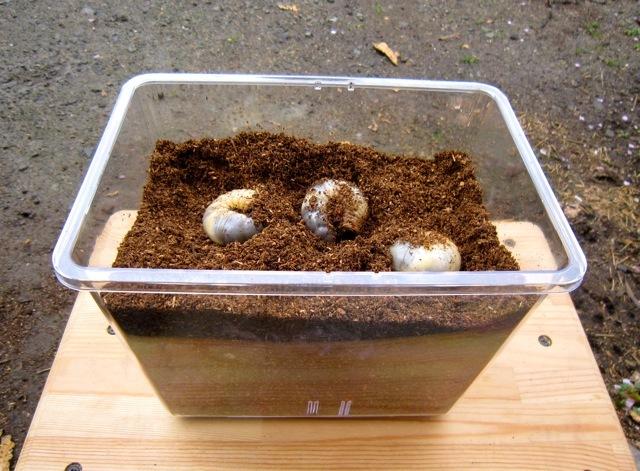 幼虫 カブトムシ